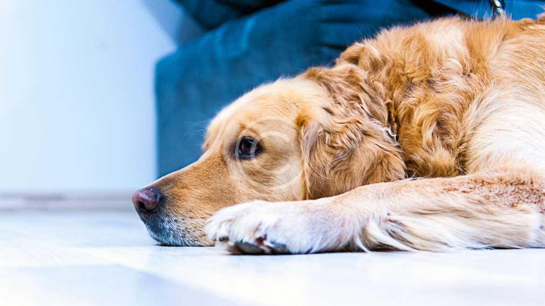 Why do Labrador retrievers love food so much?